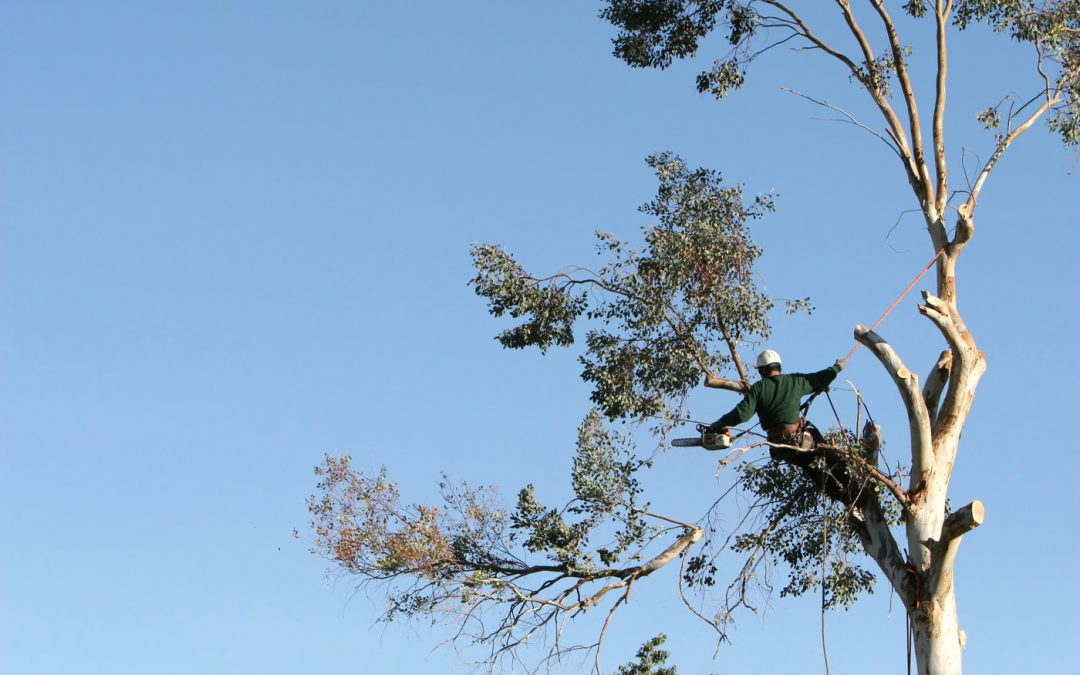 Tree Pruning and Removal: Why You Should Hire a Certified Arborist