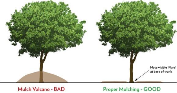 2015-12-21-tree-planting-mulch-volcano