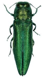 Signs and Symptoms of Emerald Ash Borer